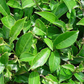 Black Tea – emergency herbal first aid for wounds